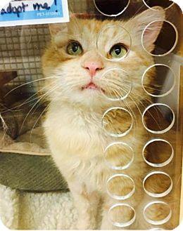 Maine Coon Cat for adoption in Wayne, Pennsylvania - Aslan
