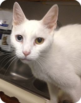 Domestic Shorthair Cat for adoption in Milton, Massachusetts - Riz