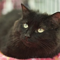 Adopt A Pet :: Baby Black - Great Falls, MT