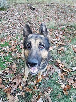 German Shepherd Dog Dog for adoption in Louisville, Kentucky - Kane