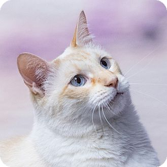 Siamese Cat for adoption in Houston, Texas - Quigley