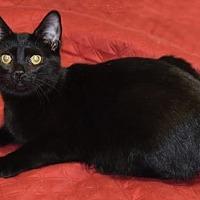 Domestic Shorthair Kitten for adoption in Farmington Hills, Michigan - Egypt