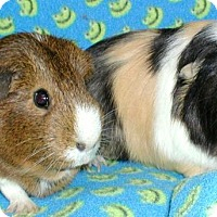 Adopt A Pet :: Sassy - Steger, IL