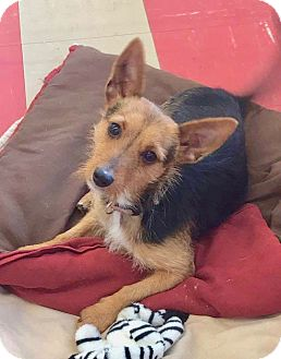 Yorkie, Yorkshire Terrier Mix Dog for adoption in Smithtown, New York - Brandon