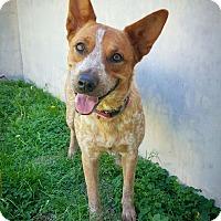 Adopt A Pet :: Tasha - Fredericksburg, TX