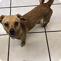 Adopt A Pet :: Abner - Joplin, MO
