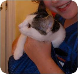 Domestic Shorthair Cat for adoption in Raritan, New Jersey - Buzzette
