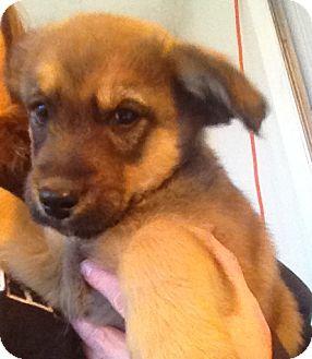 Labrador Retriever Mix Puppy for adoption in Richmond, Virginia - Riley