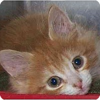 Adopt A Pet :: Pop - Annapolis, MD