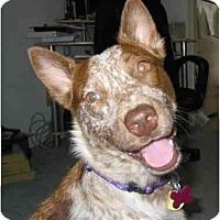 Adopt A Pet :: Jaycee - Phoenix, AZ