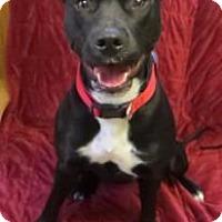 Adopt A Pet :: Beauty - Cambridge, MD