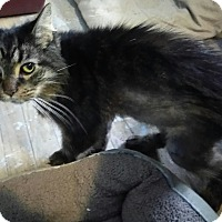 Adopt A Pet :: Sweet Pea (front declawed) - Warren, MI
