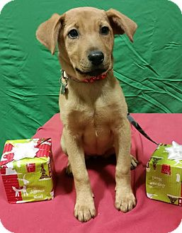 Shepherd (Unknown Type)/Retriever (Unknown Type) Mix Puppy for adoption in Detroit, Michigan - Cameron-Adopted!
