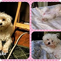 Adopt A Pet :: Snowflake - DOVER, OH