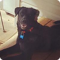 Labrador Retriever Mix Dog for adoption in Springfield, Missouri - Casey