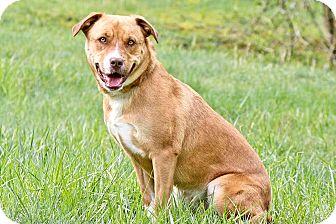 Boxer/Labrador Retriever Mix Dog for adoption in Cashiers, North Carolina - Sandy
