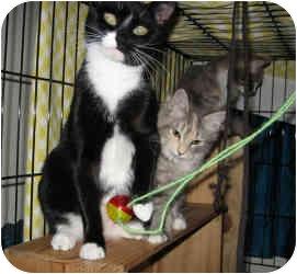 Domestic Shorthair Cat for adoption in New York, New York - Terri