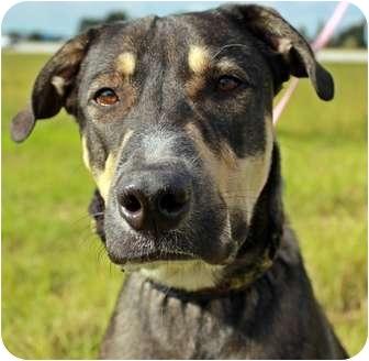 German Shepherd Dog Mix Dog for adoption in Orlando, Florida - Jackson