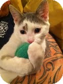 Domestic Shorthair Cat for adoption in Huntsville, Ontario - Jersey - Born in March 2012!