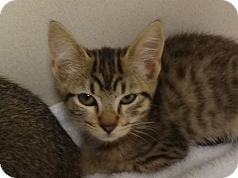 Bengal Kitten for adoption in Fountain Hills, Arizona - CARLY
