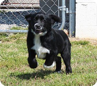 Labrador Retriever/Border Collie Mix Puppy for adoption in Spring Valley, New York - Blossom