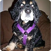 Adopt A Pet :: Rufus - Tacoma, WA