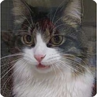 Adopt A Pet :: Nick - Brea, CA