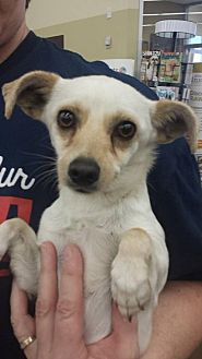 Terrier (Unknown Type, Medium) Mix Dog for adoption in Fresno, California - Angelo