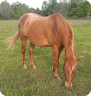 Pony - of America for adoption in Bryan, Texas - Emmett