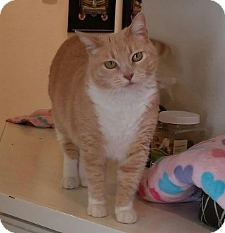 Domestic Shorthair Cat for adoption in Upland, California - Tuesday