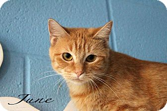 Domestic Shorthair Cat for adoption in Texarkana, Arkansas - June