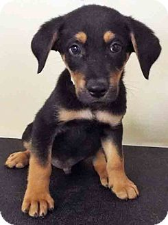 Labrador Retriever Mix Puppy for adoption in Hinsdale, Illinois - ADOPTED!!!   Nathan