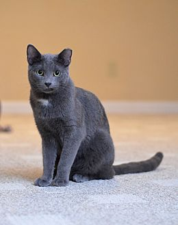 Domestic Shorthair Cat for adoption in St. Louis, Missouri - Romulus
