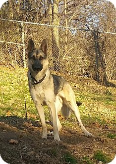 German Shepherd Dog Mix Dog for adoption in Rochester, Minnesota - Eerie