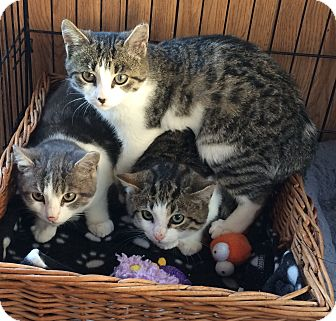 Domestic Shorthair Kitten for adoption in Manasquan, New Jersey - white tiger mix F kitten