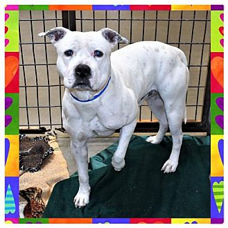 Pit Bull Terrier Mix Dog for adoption in San Jacinto, California - Iggy