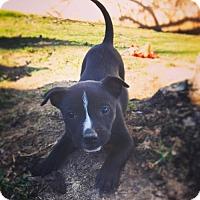 Adopt A Pet :: Olive - Crestline, CA