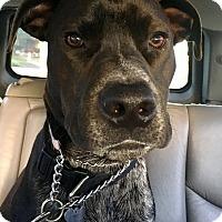 Adopt A Pet :: Shadow - beverly hills, CA