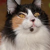 Adopt A Pet :: Rowena Parmesan *Declawed* - Glendale, AZ