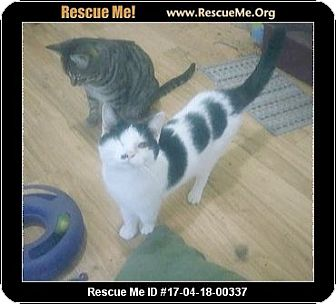 Domestic Shorthair Cat for adoption in Madison, Tennessee - Chanel loves dogs