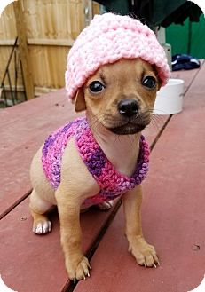 Shih Tzu/Chihuahua Mix Puppy for adoption in Alexandria, Virginia - Shirley Temple (The Little Stars)