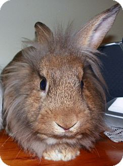Lionhead Mix for adoption in North Gower, Ontario - Kohei