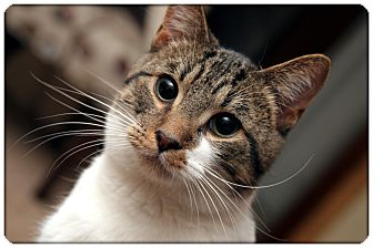 Domestic Shorthair Cat for adoption in Sterling Heights, Michigan - Dickens - ADOPTED!