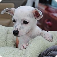 Adopt A Pet :: Chocolate - Palmdale, CA
