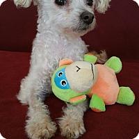 Adopt A Pet :: Sherman - Rancho Mirage, CA