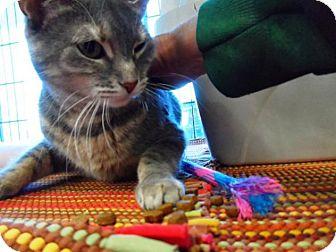 Domestic Shorthair Cat for adoption in Breinigsville, Pennsylvania - Kossi