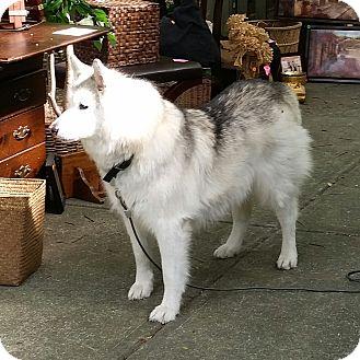 Siberian Husky Dog for adoption in Palm Harbor, Florida - Tasha - FOSTER 3 DAYS/WK