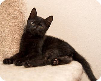 Domestic Shorthair Kitten for adoption in Houston, Texas - Zeppelin