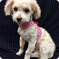 Terrier (Unknown Type, Small)/Maltese Mix Puppy for adoption in Encino, California - Noel Puppy