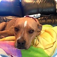 Adopt A Pet :: Roxy - Island Park, NY